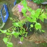 Shankhapushpi - Canscora diffusa