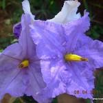 Solanum macranthum
