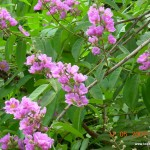 Tamhan - Largerstromia speciosa