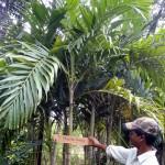 Manila Green Palm