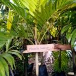 Manila Golden Palm