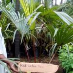 Red Latan Palm