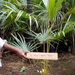 Yellow Latan Palm